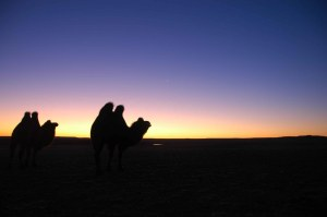 Gobi Day Three - Camels at Sunrise