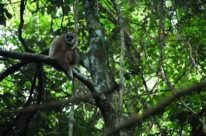 Bukit Lawang - White-Handed Gibbon