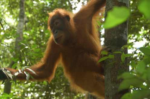 Bukit Lawang - Orangutan 1