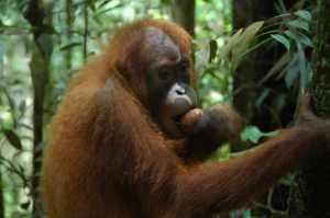 Bukit Lawang - Orangutan 2