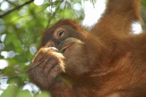 Bukit Lawang - Orangutan 3
