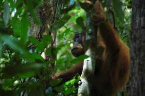 Bukit Lawang - Orangutan 4