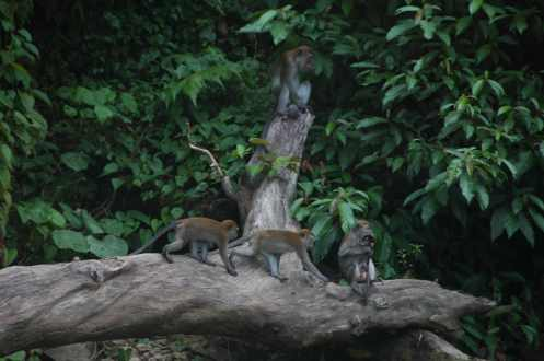 Bukit Lawang - Long-Tailed Macaques 1