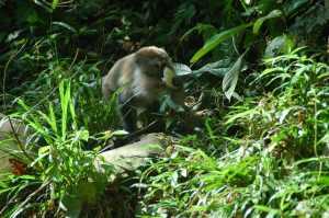 Bukit Lawang - Long-Tailed Macaques 2
