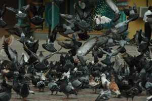Kuala Lumpur - Batu Caves (Pigeons)