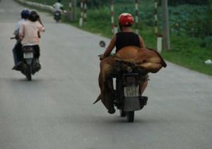 Hanoi - Horse on Motorcycle