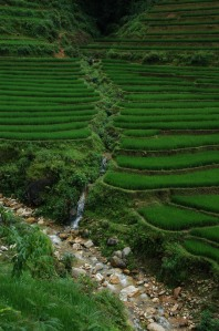Sapa - Terraced Rice Paddies 5