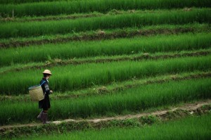 Sapa - Terraced Rice Paddies 4